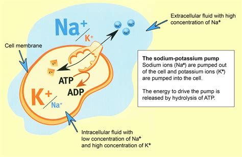 What are three functions of the Na+ K+ pump? | Socratic