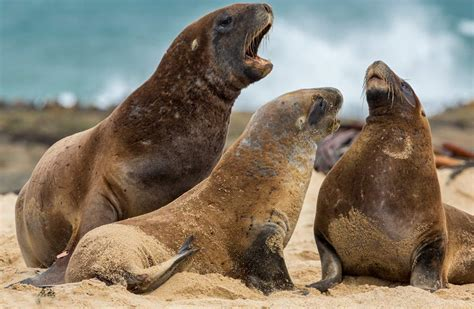 Hooker's Sea Lion   Animal Planet's The Most Extreme Wiki