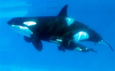 SeaWorld to build bigger enclosures for orcas after